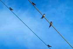 swallows on wires under the blue sky