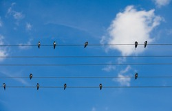 Swallows sitting on wires over summer blue sky like notes on the stave