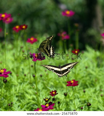 Swallowtail butterflies (Papilio Paeon|)  at play amongs flowers, Ometepe Island, Nicaragua