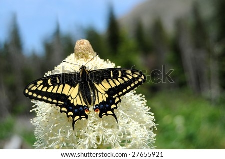 Swallowtail butterfly feeding on beargrass in Glacier National Park in Montana. The Old World Swallowtail (Papilio machaon) is a butterfly of the family Papilionidae. Narrow DOF.