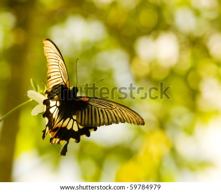 Swallowtail butterfly flying and dancing under sunset (Papilio memnon)