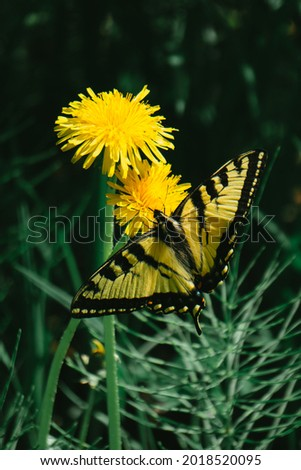 Swallowtail butterfly in Canyon des Portes de l'Enfer park (Hell's gate canyon) in Bas Saint Laurent region of Quebec (Canada) Photo stock ©
