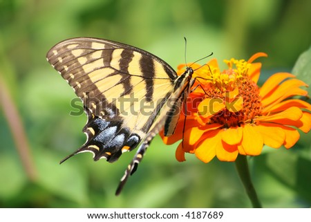Swallowtail butterfly on an orange flower, macro close up