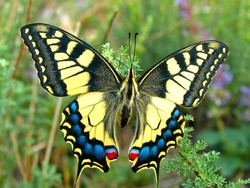Swallowtail butterfly, Papilio machaon