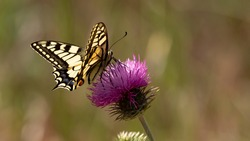 Swallowtail Butterfly (Papilio machaon) gathers a red knapweed flower. Magnificent butterfly of European fauna. Insect on a sunny day in June in the south of France. Passion for entomology