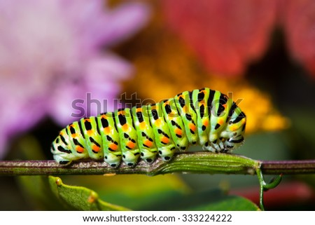 Stock Photo Swallowtail caterpillar