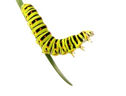 Swallowtail caterpillar on a stalk isolated on a white background. Studio shot.