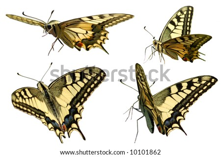 Swallowtail in different positions isolated on white