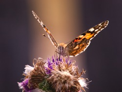 Swalowtail butterfly sitting on the purple thistle flower. Nature sunset background with insect. Close up photography.