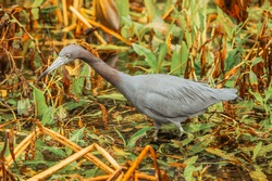 Swamp and grass. Everglades National Park. Birds of Florida. Tropical water bird. Close up portrait of a bird. A grey heron resting in wild nature.
