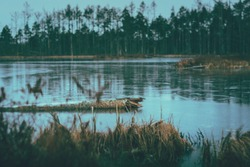 Swamp at gloomy weather in Latvia. Apocalyptic feeling hiking on a wooden trail through the bog with dark clouds. Swamp is surrounded with lakes, junipers, plants and wildlife.