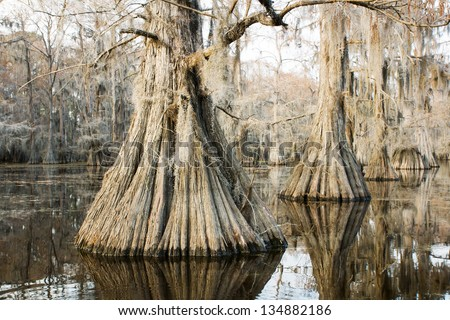 "Swamp (bald) cypress in the lake at sunset and hanging from a strand Spanish moss in a state park, ""Caddo Lake"", Texas, USA"
