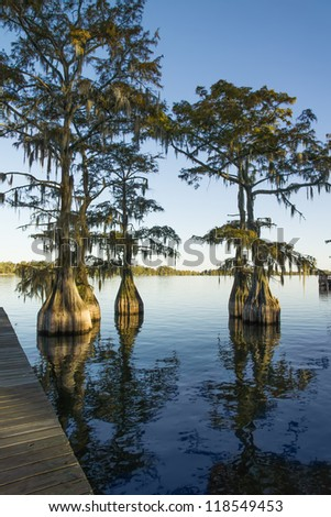 Swamp (bald), cypress (Taxodium distichum) in the lake and hanging from a Spanish moss - stock photo