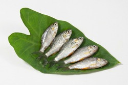 swamp barb or Puthi of Bangladesh on arum leaf in studio. The swamp barb or chola barb, Puntius chola, is a tropical freshwater fish belonging to the subfamily Cyprininae of the family Cyprinidae.