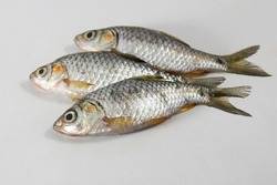 swamp barb or Puthi of Bangladesh on white in studio. The swamp barb or chola barb, Puntius chola, is a tropical freshwater fish belonging to the subfamily Cyprininae of the family Cyprinidae.