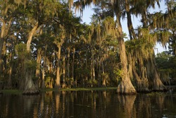 Swamp bayou scene of the American South featuring bald cypress trees and Spanish moss in Caddo Lake Texas