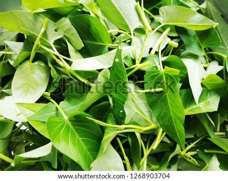 Swamp Cabbage,Thai Water Convolvulus, Morning glory, Water spinach, Water morning glory