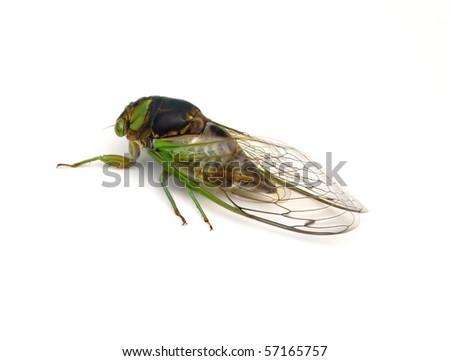 Swamp Cicada (Tibicen tibicen). - stock photo