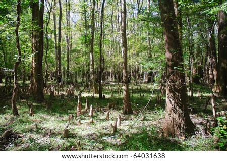 swamp cypress forest