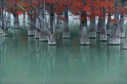 Swamp cypress trees on Sukko lake in autumn. Russia, Krasnodar region.