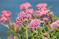 Swamp Milkweed plant by a lake with a honeybee on one of its blooms.