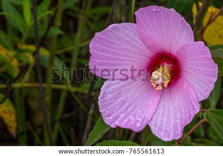 Swamp Rose Mallow in a marsh.