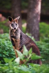 Swamp wallaby on grass (Wallabia bicolor)
