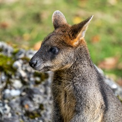 Swamp Wallaby, Wallabia bicolor, is one of the smaller kangaroos. This wallaby is also commonly known as the black wallaby