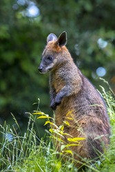 Swamp wallaby Wallabia bicolor sitting in grass