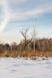 Swamp with dry grass, reeds and many birches and conifers in wintertime. Sunny winter day with blue skies and small clouds. Winter landscape with strange trees