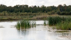 Swamp with reeds with forest in the background. High bog with forest in the background