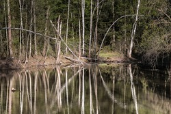 Swamps in spring. Cool dark lake in primeval forest. Cold melancholic landscape with water vapour. Foggy mystery and mystic wetland with trees. Enigmatic mysterious dark swamp