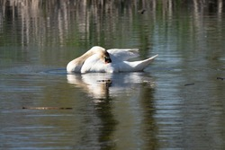 swan and cignets go for a swim