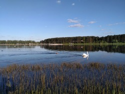 swan and dog swimming on a lake beautiful spring landscape blue sky background