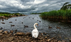 Swan and ducks on the shores of Lough Leane in southwest Ireland's County Kerry