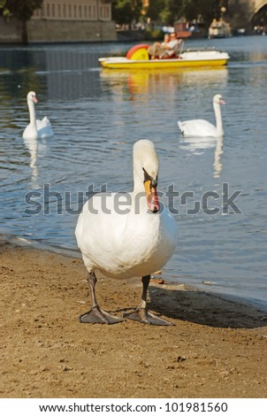 Swan and pedal boat, in front of Charles Bridge over the Vltava river, Czech republic - stock photo