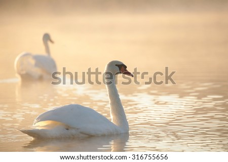 Stock Photo Swan at dawn.