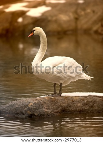 Swan at sunset in Central Park, New York