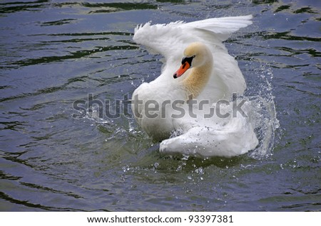 swan bathing in the water of lake