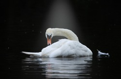 Swan beautiful In the water