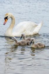Swan. Birds. swan family on the lake
