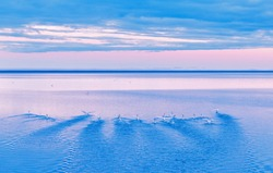 Swan birds swimming in Arctic ocean in Iceland during White nights natural phenomenon in Iceland. Amazing landscape of northern nature, stunning sunset scene. Gentle pink dramatic sky in background.