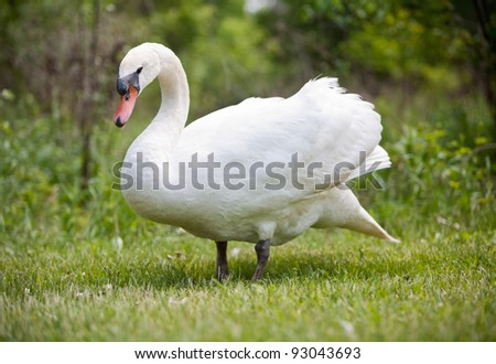 Swan coming out of from the tree area. Isolated with Nature