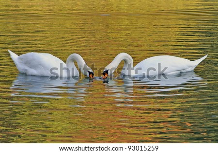 swan couple eating together