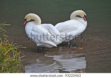 swan couple rest near the lake