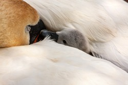 Swan cygnet wrapped up and hidden under mother swan's wing, mute swans,  Cygnus olor, pen with baby signet. Grand Canal, Dublin, Ireland. Baby tries to wake up mother