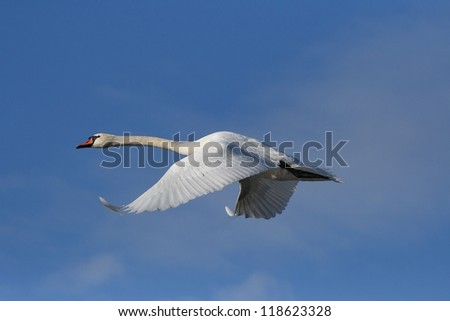 Swan (Cygnus olor) flying in the blue sky.