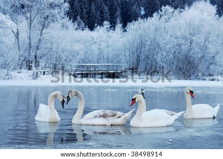 swan-familiy in winter on the lake