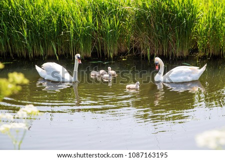 Swan family. Father swan mother swan and baby chicks children kids swans. Birds floating on water in a pond in the reeds. A symbol of fidelity, love and tenderness.