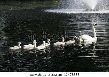 swan family in pond